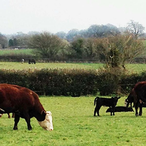 Cattle on Sullington Manor Farm