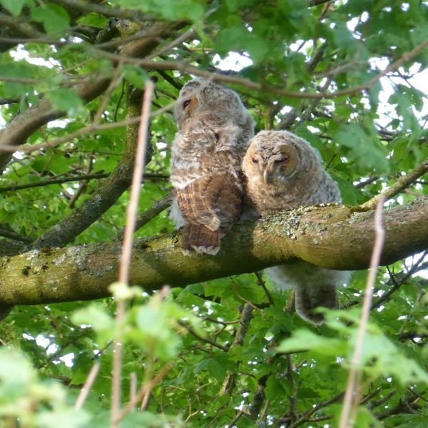 Owls in countryside at Sullington Manor Farm